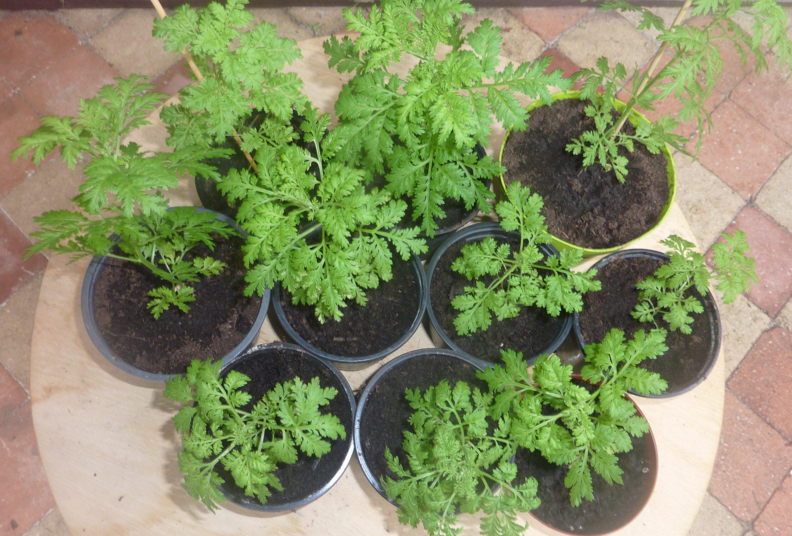 Artemisia annua : il est temps de semer !